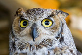 Eyes Of The Owl — Stock Photo