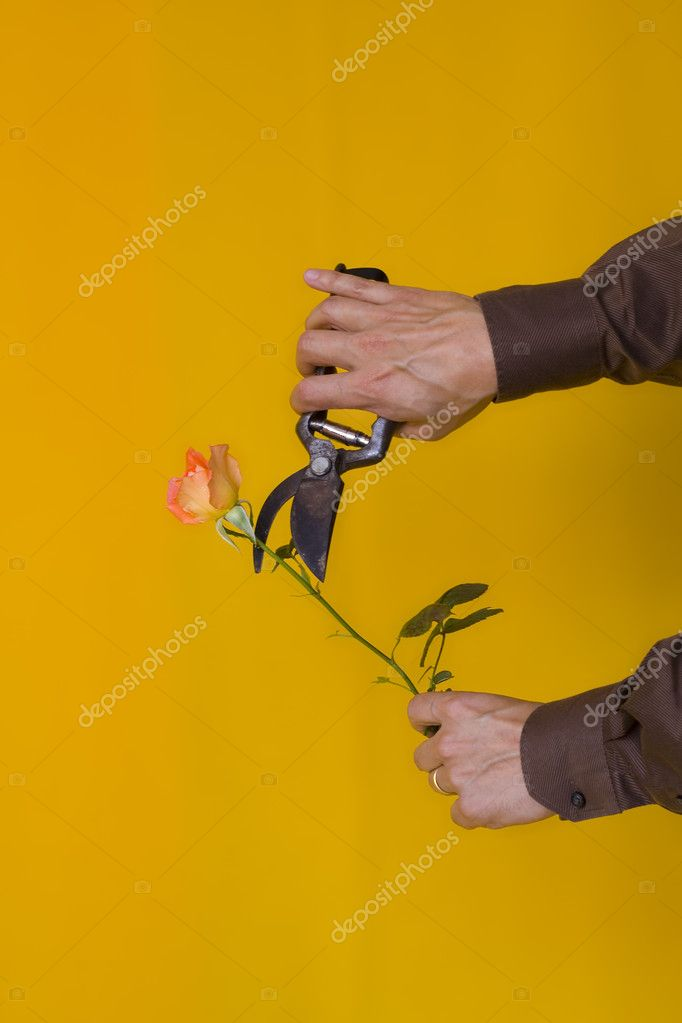 A angry man cutting a beautiful rose — Stock Photo #8675980