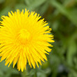Yellow dundilion flower - Foto Stock