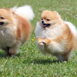 Stock Photo: Two pomeranispitzes on meadow
