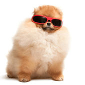 Pomeranian spitz puppy in red sunglasses — Stock Photo