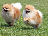 Two pomeranian spitzes on the meadow — Stock Photo