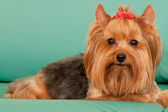 Yorkie with a red ribbon — Stock Photo