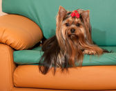 Yorkshire terrier on the sofa — Stock Photo