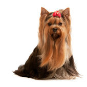 Portrait of a charming yorkshire terrier on the white — Stock Photo