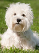 White west highland terrier — Stock Photo