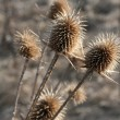 Thistle — Stock fotografie