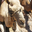 Stock Photo: Camels, Egypt