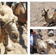 Camels, Egypt — Stock Photo #8535735