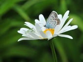The butterfly on a camomile — Stock Photo