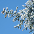 Stock Photo: Fur-tree with cones