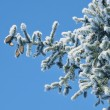 Fur-tree with cones — Stock Photo #8201877
