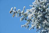 Fur-tree with cones — Stock Photo