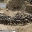 A wildebeest herd ready to cross the Talek River during the Great Migration - Stock Photo