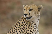 Male cheetah peers across the plains of the Masai Mara. — Stock Photo