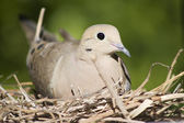 A female mourning dove sits on her nest in Southern California. — Stock Photo
