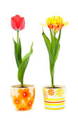 Color tulips in ceramic pots — Stock Photo