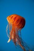 Oranje kwallen drijvend op heldere blauwe achtergrond — Stockfoto