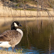 Canada Goose by a Pond in the Fall — Stock Photo