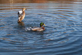 Pair of Mallard Ducks — Stock Photo
