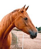 Portrait of a Chestnut Horse — Stock Photo