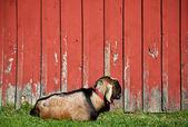 Sleeping Male Goat — Stock Photo