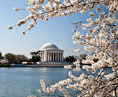 Washington DC Jefferson Memorial with Cherry Blossoms — Stock Photo