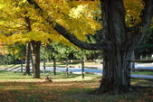 Yellow Maples and split rail fence — Stock Photo