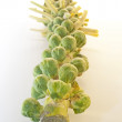 Brussel Sprouts on the stem — Stock Photo