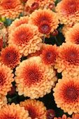 Full frame of bright orange autumn chrysanthemums — Stock Photo