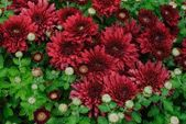Carpet of burgundy chrysanthemums — Stock Photo