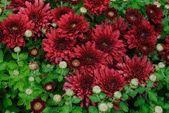 Carpet of burgundy chrysanthemums — Stock Photo