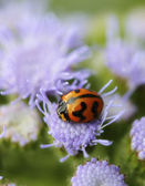 Orange Lady Beetle — Stock Photo