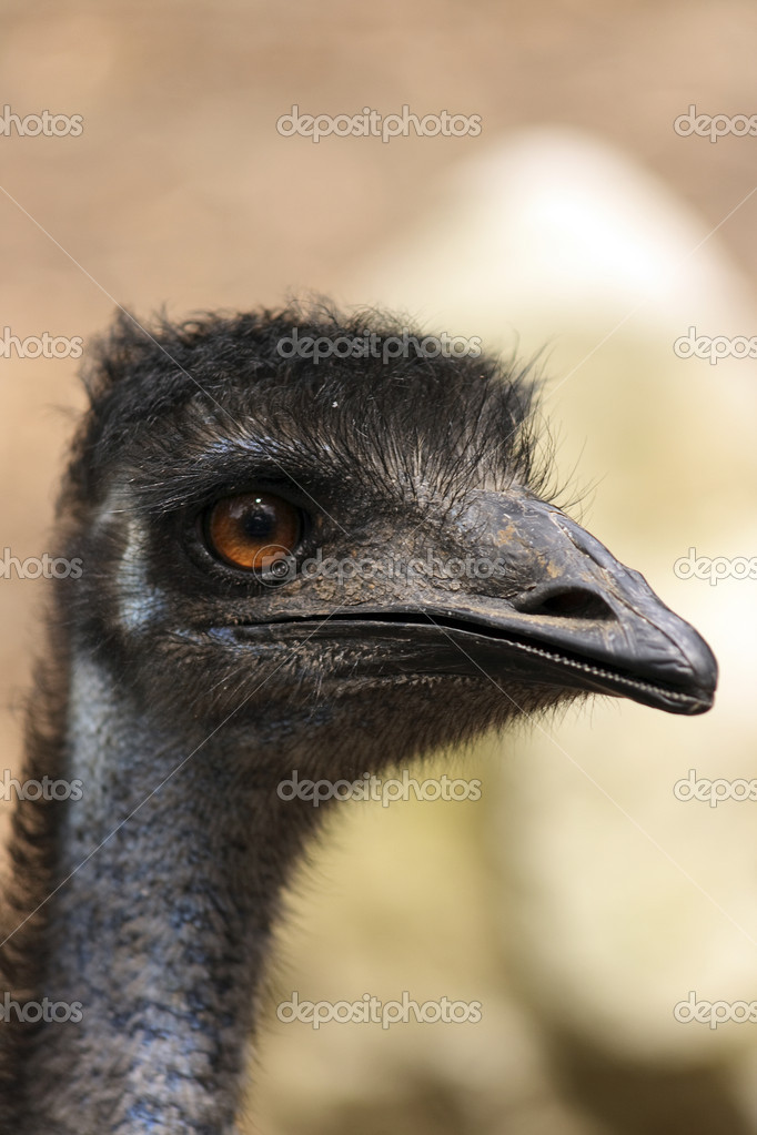 An Australian Emu — Stock Photo #8762229