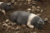 Animal husbandry and close up of pig — Stock Photo