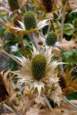 Thistle bloemen — Stockfoto