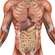 Male Torso with Muscles and Organs — Stockfoto