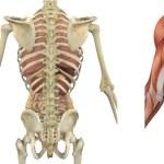 Anatomical Overlays of the Torso - Backside — Stock Photo #8280612
