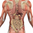 Male Torso with Muscles and Organs - Back View - Стоковая фотография