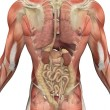 Male Torso with Muscles and Organs - Back View - Stock Photo
