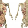 Torso Skeleton with Internal Organs - Front and Back - Foto Stock