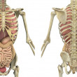 Torso Skeleton with Internal Organs - Front and Back - 图库照片