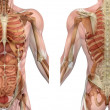 Male Torso Front and Back with Muscles and Organs — Stock Photo #8285584