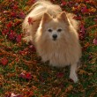 Pomeranian Dog - Stock Photo