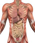 Mannelijke bovenlichaam met spieren en organen — Stockfoto