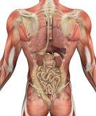 Mannelijke bovenlichaam met spieren en organen - achteraanzicht — Stockfoto