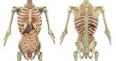 Romp skelet met inwendige organen - voor- en achterkant — Stockfoto