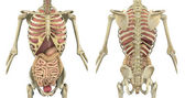 Torso Skeleton with Internal Organs - Front and Back — Stock Photo