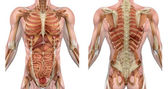 Male Torso Front and Back with Muscles and Organs — Stock Photo