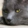 Gray Cat Deep in Thought — Stock Photo